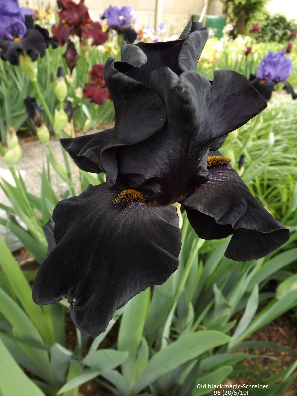 Iris 'Old Black Magic' - Schreiner 1996 Dscf3724
