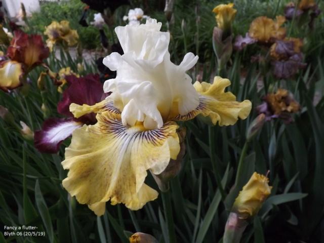Iris 'Fancy a Flutter' - Blyth 2006 Dscf3727