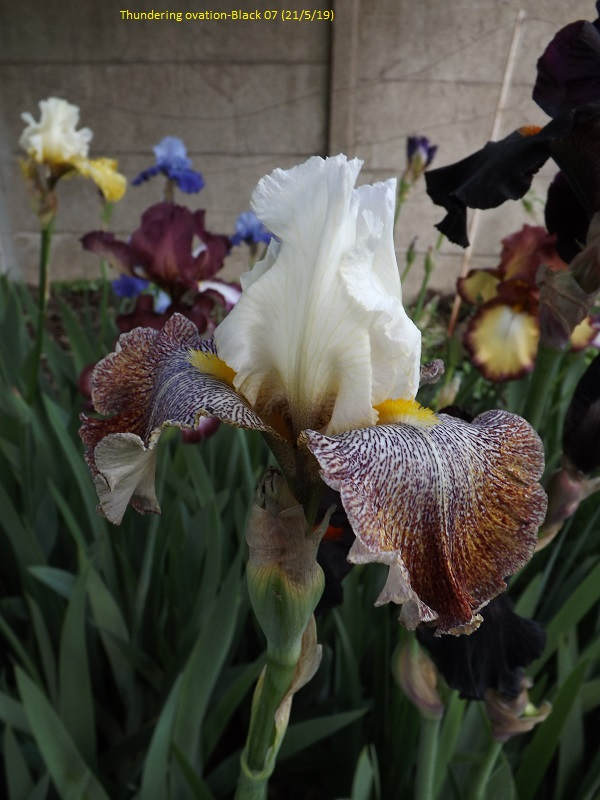 Iris 'Thundering Ovation' - Paul Black 2007 Dscf3731