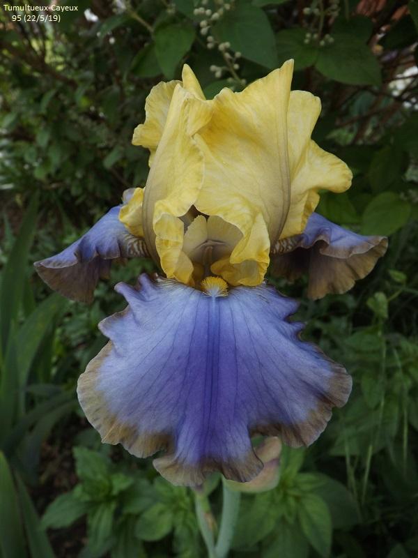 Iris 'Tumultueux' - Cayeux 1995 Dscf3739