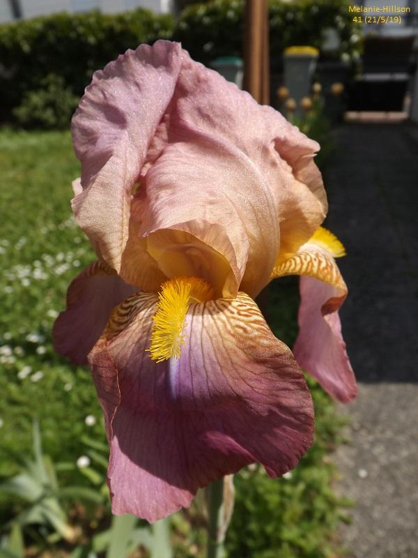 Iris rose - Flora [identification non terminée] - Page 2 Dscf3740