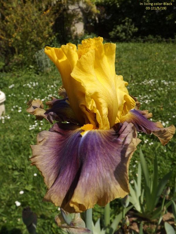 Iris 'In living color' - Black 2003 Dscf3742