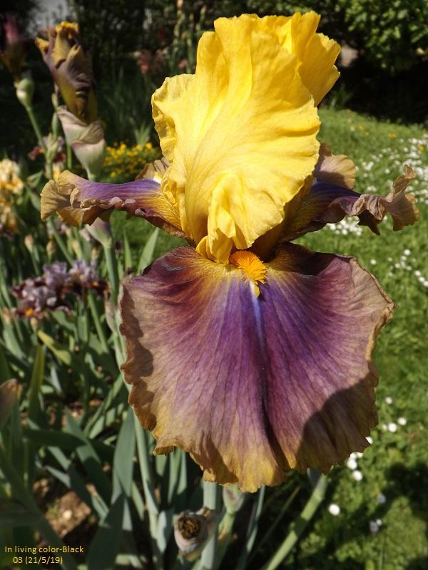 Iris 'In living color' - Black 2003 Dscf3743