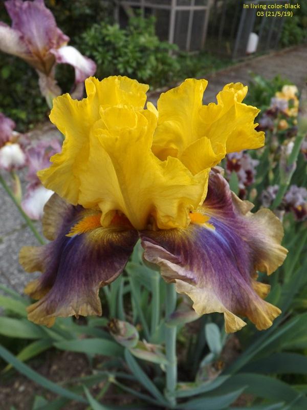 Iris 'In living color' - Black 2003 Dscf3745