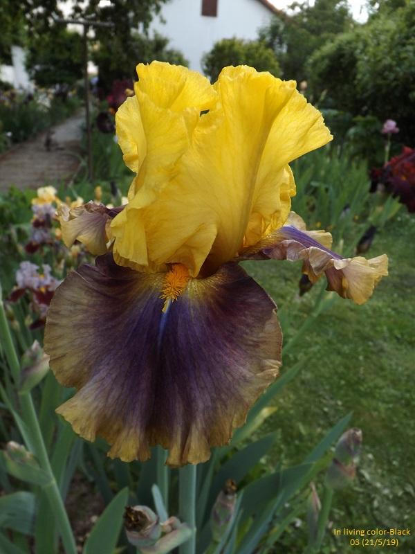 Iris 'In living color' - Black 2003 Dscf3746