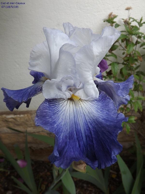 Iris 'Proud Tradition' - Schreiner 1990 Dscf3754