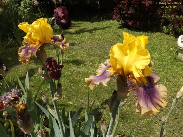 Iris 'In Living Color' - Paul Black 2003 Dscf3810