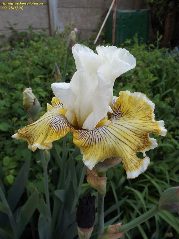 Iris 'Spring Madness' - Johnson 2009 Dscf3837