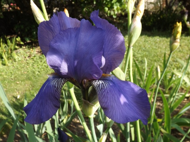 Iris bleu violet strié - dijiris [identification en cours] Dscf3839