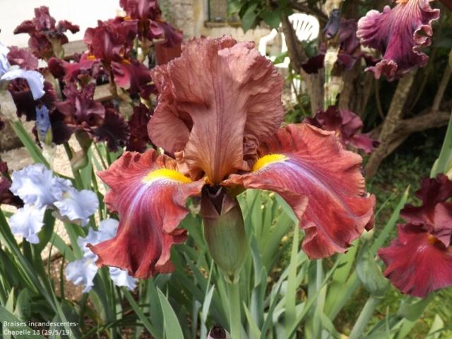 Iris 'Braises Incandescentes' - Alain Chapelle 2013 Dscf3848