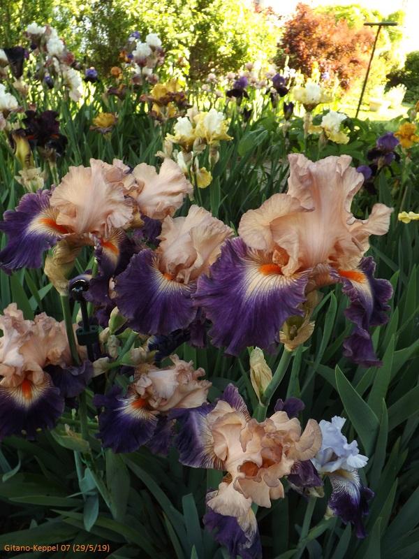 Iris 'Gitano' - Keppel 2007 Dscf3850