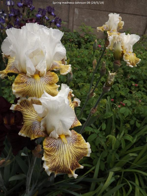 Iris 'Spring Madness' - Johnson 2009 Dscf3851