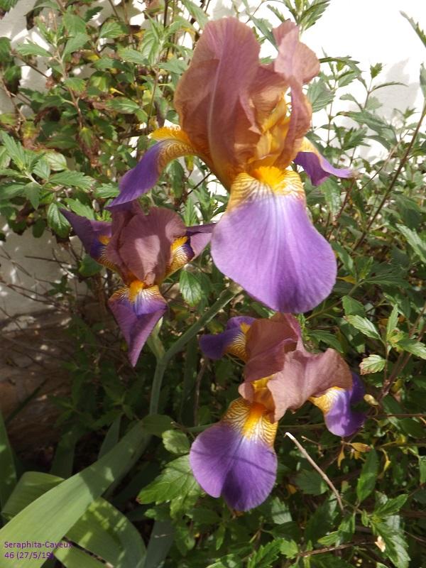 Iris belles couleurs mais inconnu Dscf3858