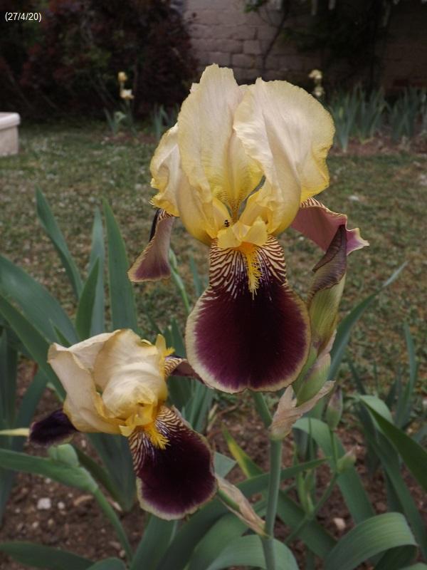 Iris variegata beige et violet - Flora et Lilou [identification en cours] - Page 2 Dscf4150
