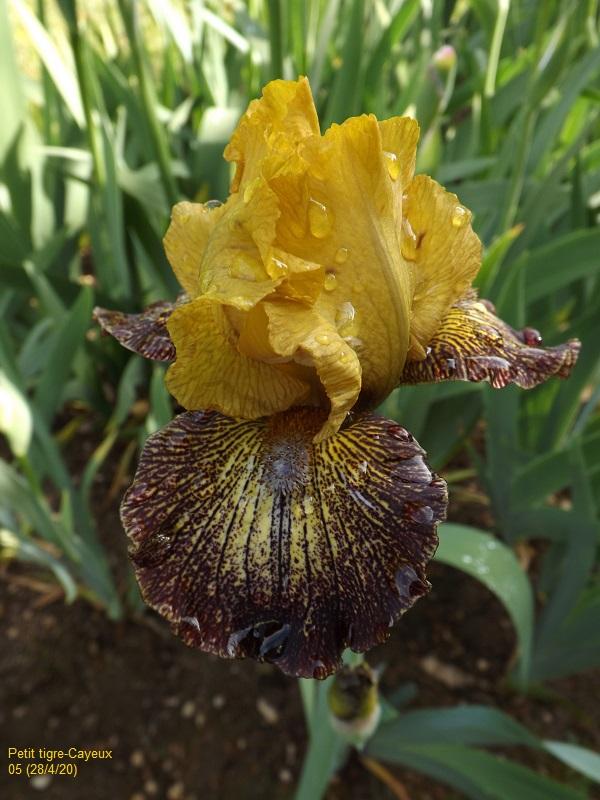 Iris 'Petit Tigre' - Richard Cayeux 2005 Dscf4172