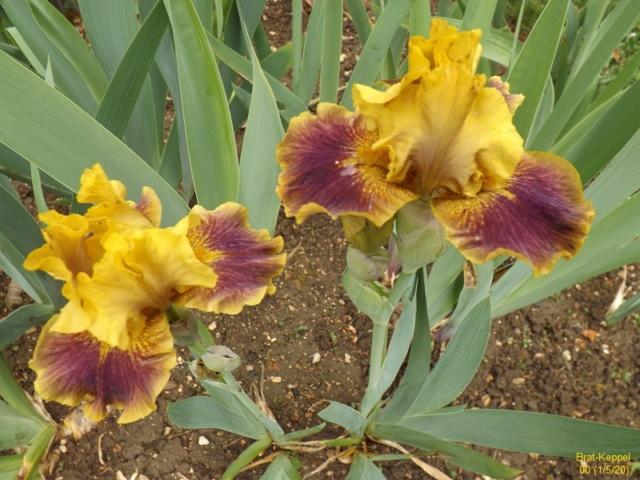 Iris 'Brat' - Keith Keppel 2001 Dscf4219