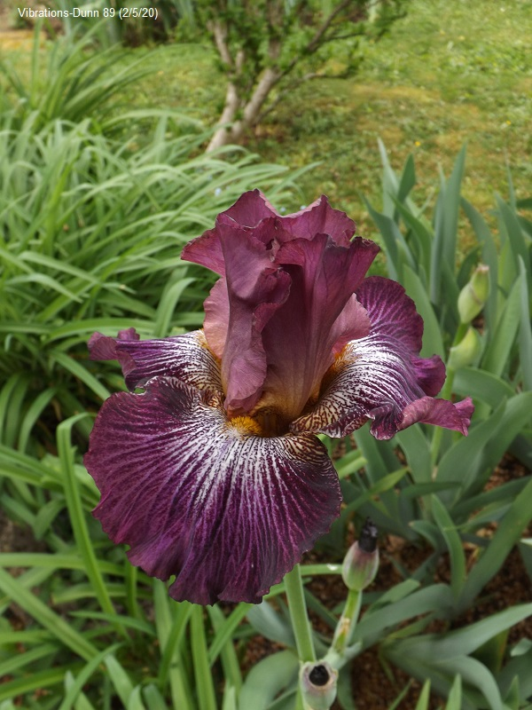 Iris 'Vibrations' - Mary Dunn 1989 Dscf4224