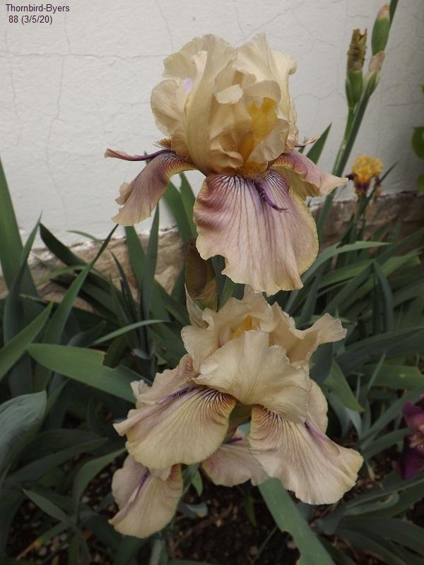 Iris 'Thornbird' - Byers 1988 Dscf4232