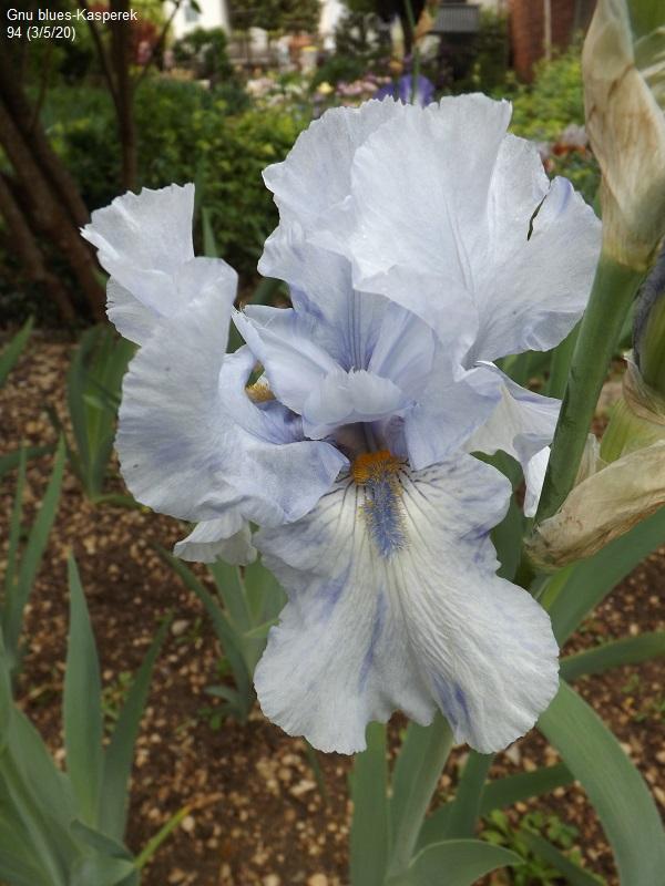 Iris 'Gnu Blues' - Kasperek 1993 Dscf4235