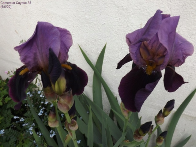 Iris 'Cameroun' - Cayeux 1938 Dscf4260