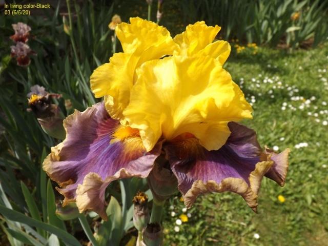 Iris 'In Living Color' - Paul Black 2003 Dscf4262
