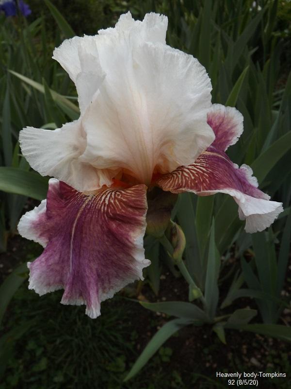 Iris 'Heavenly Body' - Chet Tompkins 1992 Dscf4269