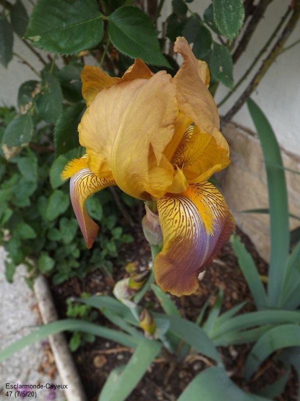 Iris 'Esclarmonde' - Ferdinand Cayeux 1947 Dscf4278