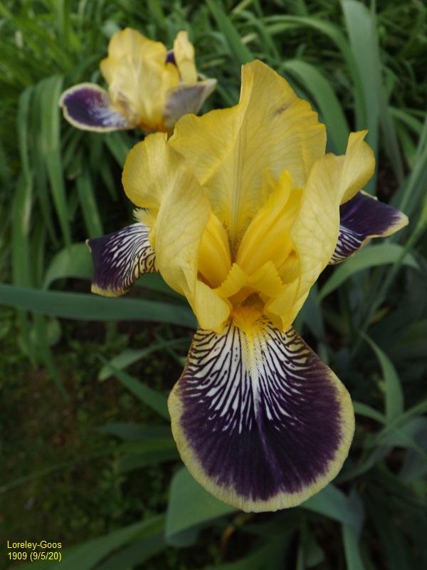 Iris 'Loreley' - Goos et Koenemann 1909 Dscf4323