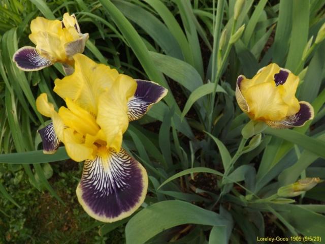 Iris 'Loreley' - Goos et Koenemann 1909 Dscf4324