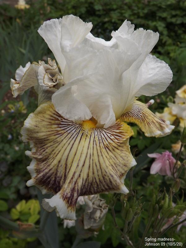 Iris 'Spring Madness' - Johnson 2009 Dscf4333