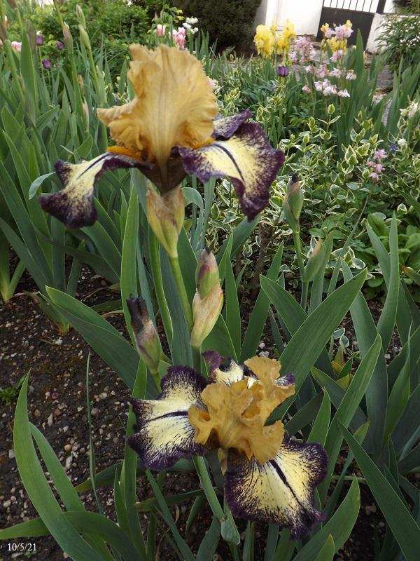 Iris 'Aggressively Forward' - Innerst 1994 Dscf4444