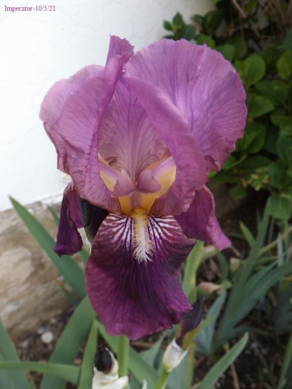 Iris 'Imperator' - Ferdinand Cayeux 1922 Dscf4447