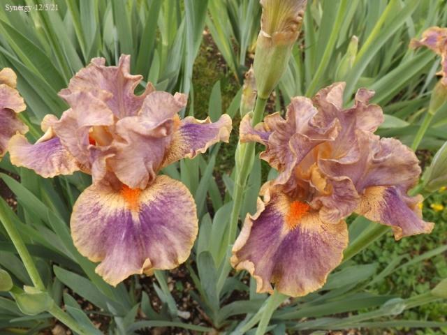 Iris 'Synergy' - Keith Keppel 2003 Dscf4462