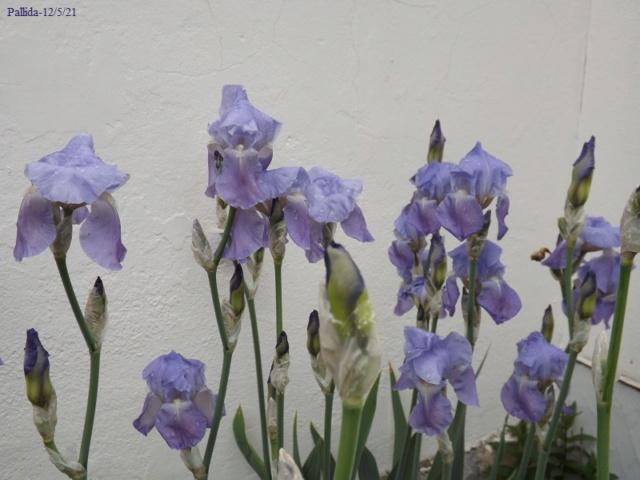 Iris pallida - groupe pallida - Page 2 Dscf4464