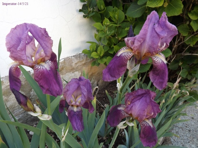 Iris 'Imperator' - Ferdinand Cayeux 1922 Dscf4518
