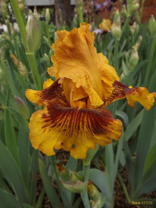 Iris 'Burst' - Barry Blyth 1993 Dscf4527