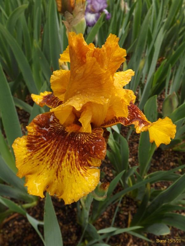 Iris 'Burst' - Barry Blyth 1993 Dscf4528