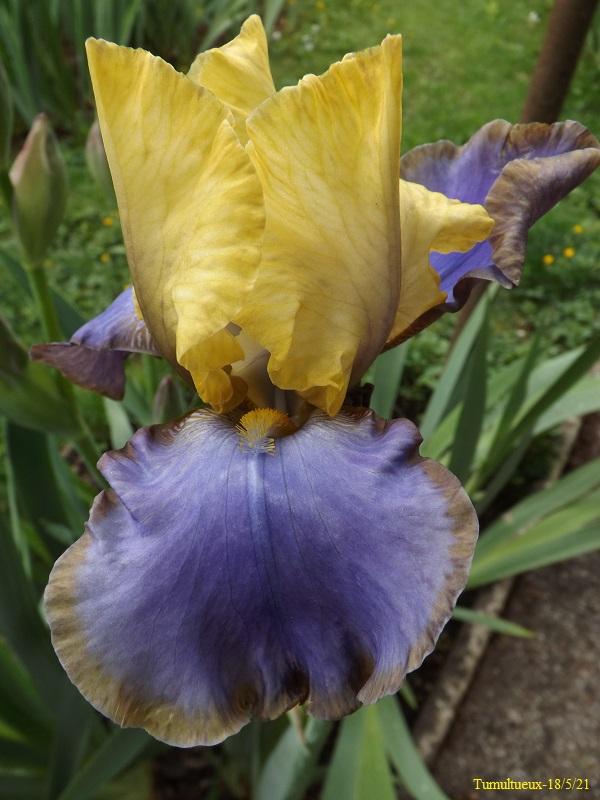 Iris 'Tumultueux' - Cayeux 1995 Dscf4542