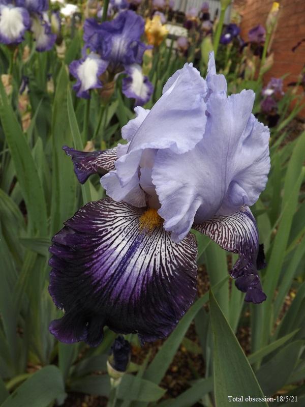 Iris 'Total Obsession' - Tompkins 1993 Dscf4543