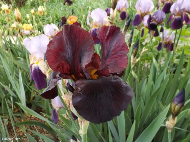 Iris 'Caliente' - Walter Luihn 1967 Dscf4566
