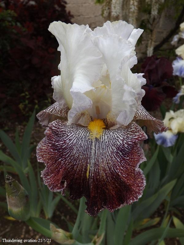 Iris 'Thundering Ovation' - Paul Black 2007 Dscf4573