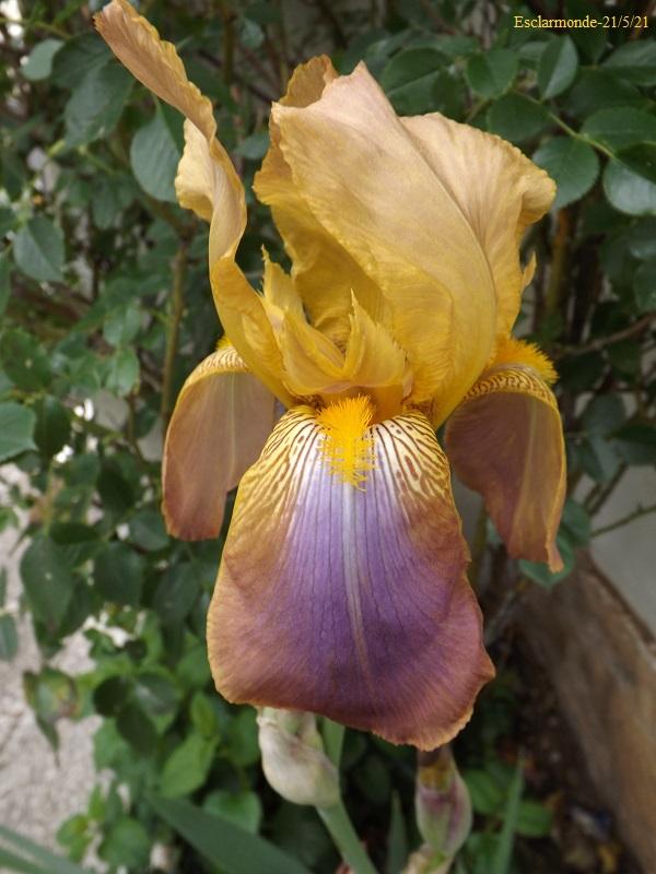 esclarmonde - Iris 'Esclarmonde' - Ferdinand Cayeux 1947 Dscf4612