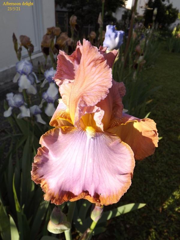 Iris 'Afternoon Delight' - Ernst 1983 Dscf4627