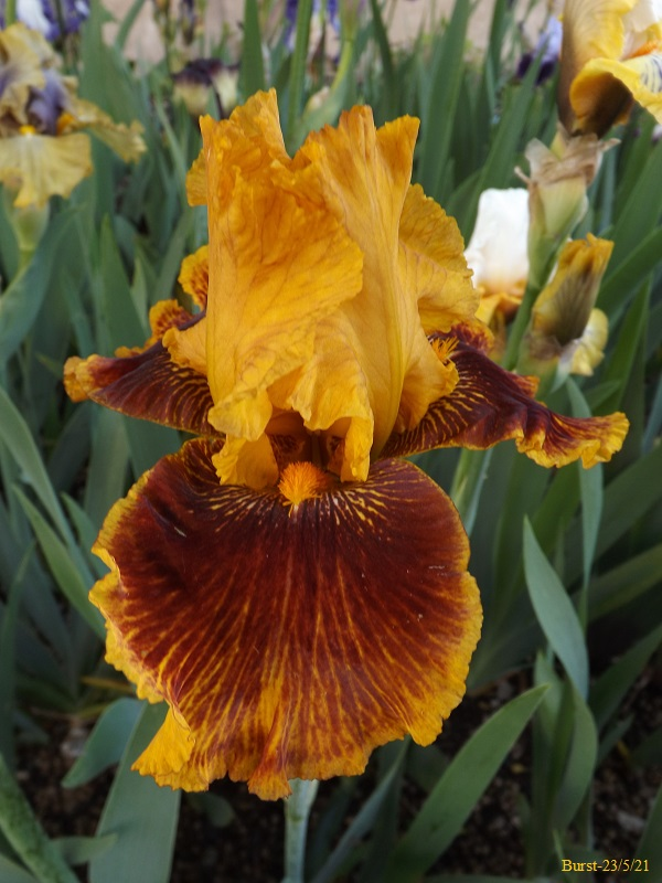Iris 'Burst' - Barry Blyth 1993 Dscf4629