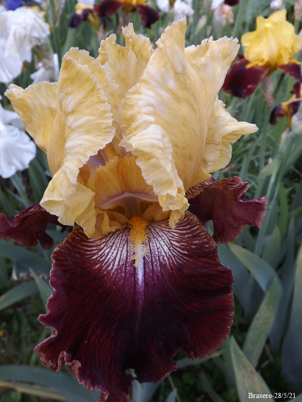 Iris 'Brasero' - Richard Cayeux 2001 Dscf4710
