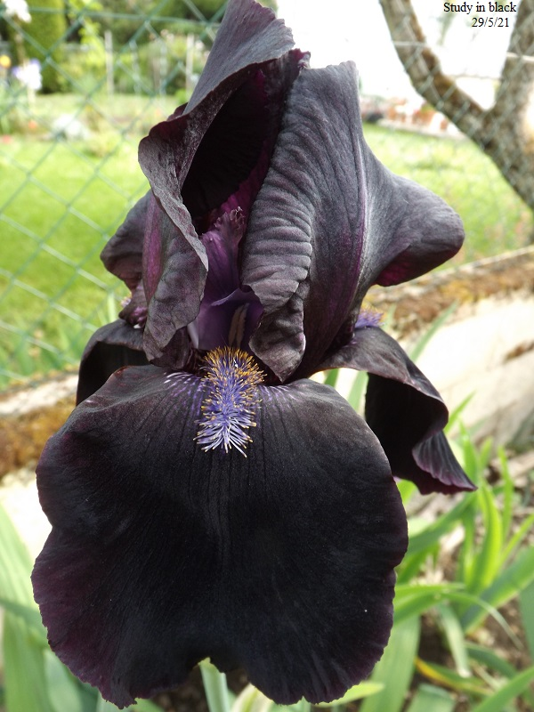 Iris 'Study in Black' - Gordon Plough 1967 Dscf4726