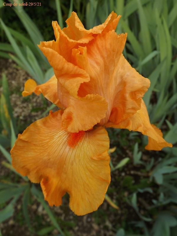 Iris 'Coup de soleil' - Cayeux 2006 Dscf4740