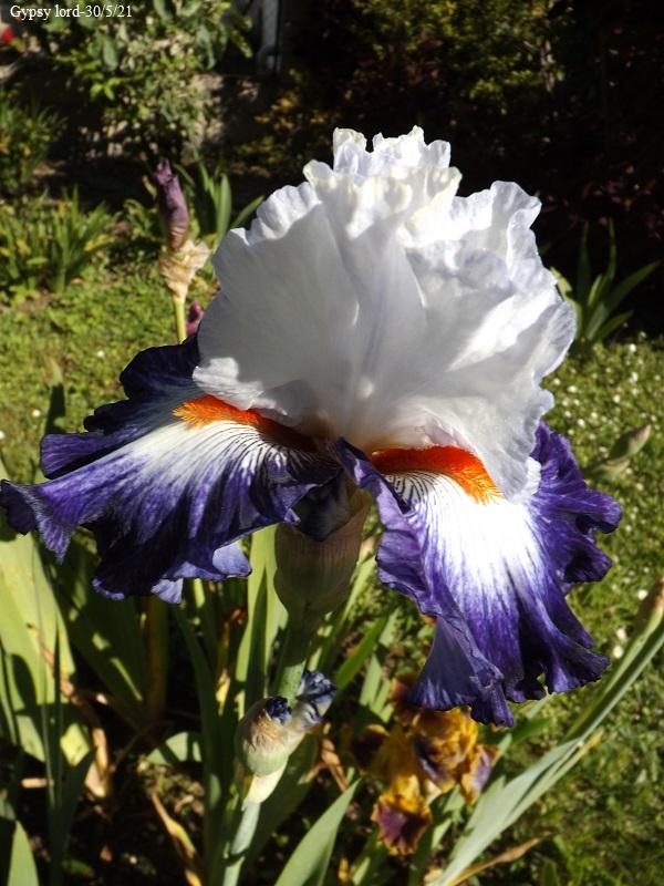 Iris 'Gypsy Lord' - Keith Keppel 2005 Dscf4747