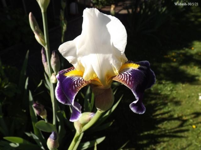 Iris 'Wabash' - Williamson 1936 Dscf4751