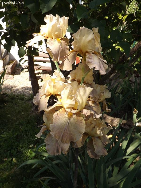 Iris 'Thornbird' - Byers 1988 Dscf4776